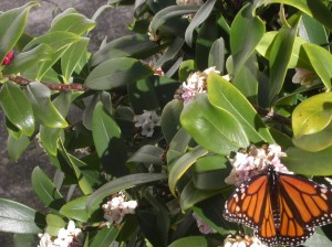 Monarch butterfly in spring